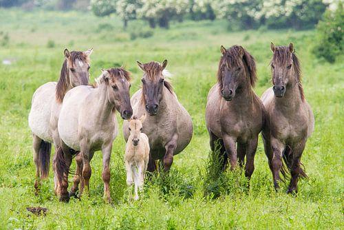 Konikpaarden met veulen Oostvaardersplassen
