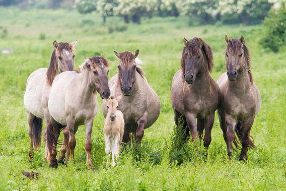 Paarden | Konikpaarden met veulen Oostvaardersplassen  van Servan Ott
