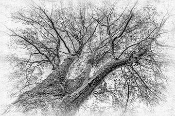 Ahorn Baum schwarz-weiss ohne Blätter im Winter von Dieter Walther