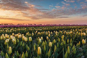Tulpenveld bij zonsopkomst