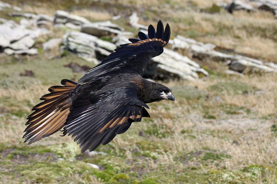Falkland Caracara van Antwan Janssen