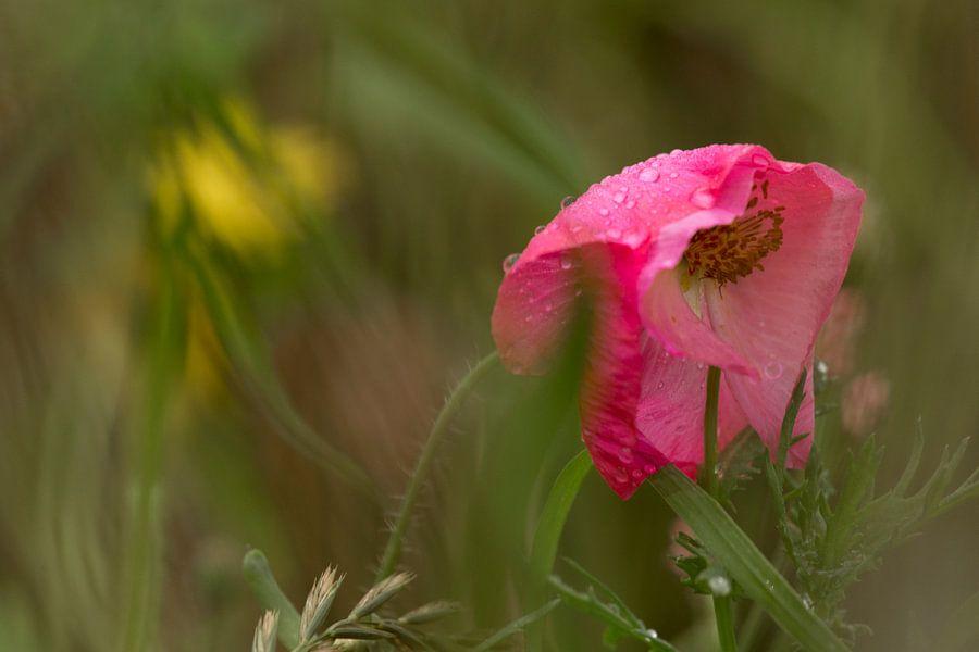 Schoonheid in verval. Klaproos met regendruppels in een bloemenveld. Terheijden, afbeelding klaproos