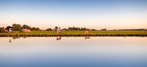 Koeien in het Nederlandse landschap
