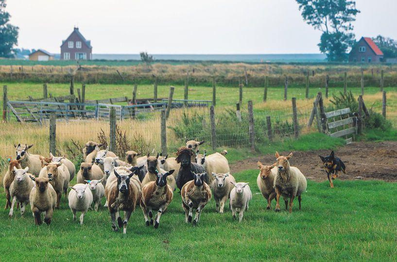 schaapskudde in een weiland op het Waddeneiland Texel Nederland van Martin Albers Photography