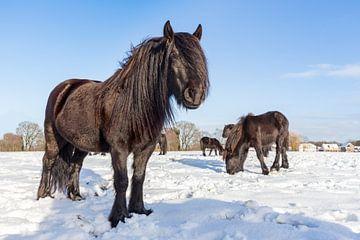 Gruppe von schwarzen Pferde im Winter Schnee. von Ben Schonewille