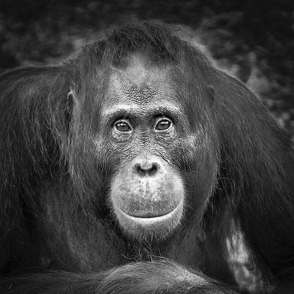 Orang-outan sur Frans Lemmens