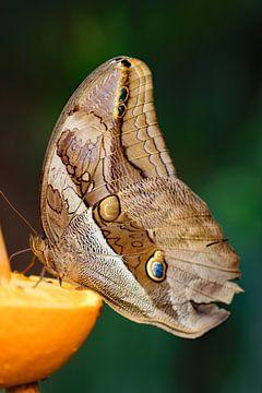 Vlinder op sinaasappel van Wilma Overwijn