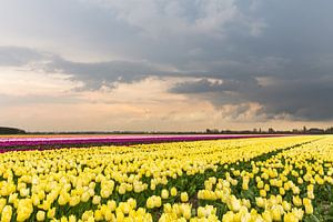 Onweerswolk boven tulpenveld