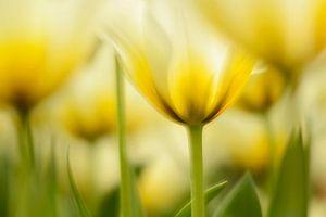 Bloeiende gele tulpen