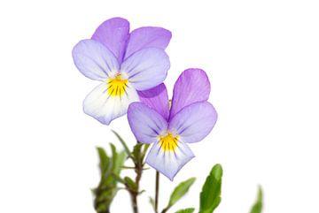 Duinviooltje (Viola tricolor subsp. curtisii) van