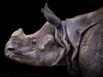 Nashorn von Karel Ton