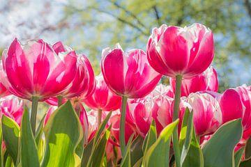 Frühling mit roten und weißen Tulpen von John van de Gazelle