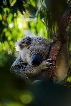 koala van Frencis van Run