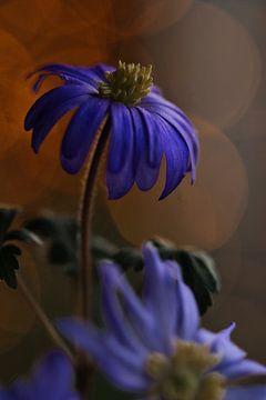 Anemone mit Bokeh von Lindy Schenk-Smit