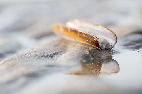 Scheermes schelp op het strand