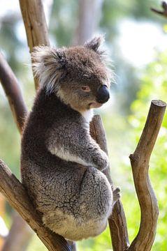 Koala van Chris & Annelies de Waal