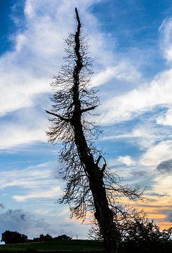 Silhouet van dode boom in het avondlicht