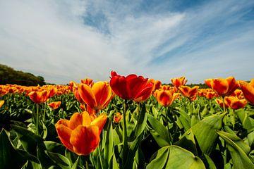 Tulpen in de weide in Nederland van Brian Morgan