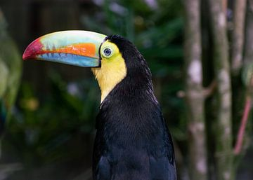 Tukan in Costa Rica von Yvette de Greef