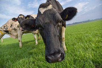 Gezellige koe van Yvonne van Driel