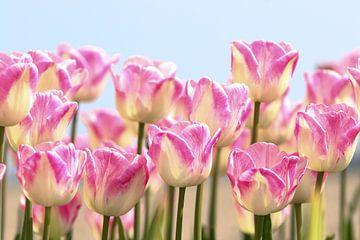 tulpen sur Peter Abbes