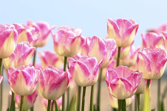 tulpen van Peter Abbes