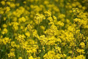 Blumenmeer aus Rapssaat von FotoGraaG Hanneke