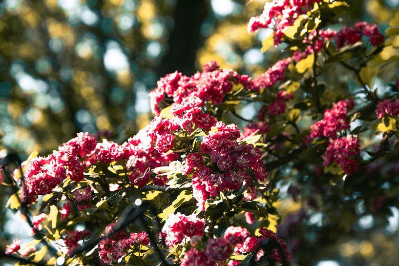 Fleurs roses sur Simen Crombez