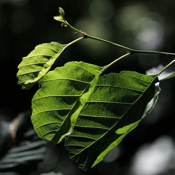 Green leaves von Rudy De Maeyer
