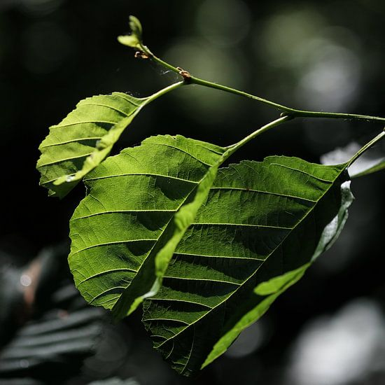 Green leaves van Rudy De Maeyer