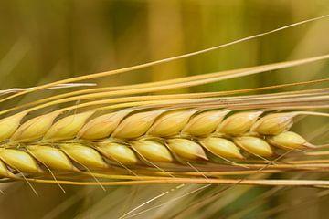Nahaufnahme einer Getreideähre von Ulrike Leone