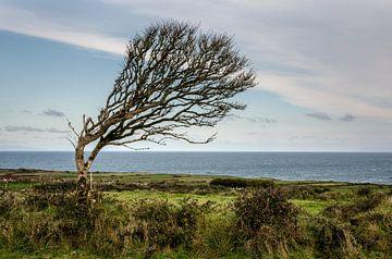 Biegender Baum in Irland von Bo Scheeringa Photography