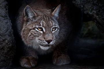 Lynx est un gros chat assis sur le sol et qui, ironiquement, regarde quelque part de près. sur Michael Semenov