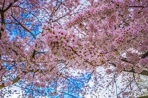 rosa Blütenbaum