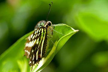 Vlinder sur Miranda van Hulst
