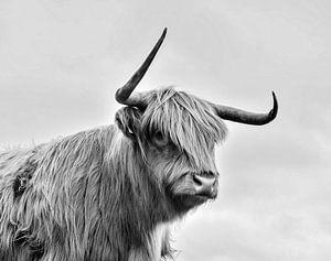 Schotse hooglander van PictureWork - Digital artist
