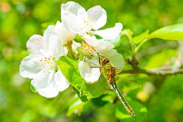 Downy Smaragdlibelle sitzt auf Apfelblüte von Sjoerd van der Wal