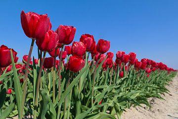 rode tulpenveld van Angelique Rademakers