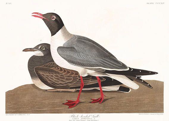 Kokmeeuw van Birds of America