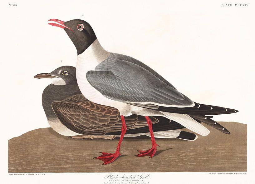 Lachmöwe von Birds of America