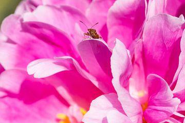 close-up van een klein insect op een paars-roze pioenroos van Marc Goldman