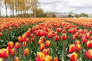 Tulpen in de Noordoostpolder