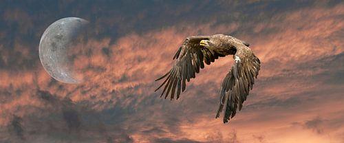 Een  panorama van een Europese Zeearend. De vogel vliegt tegen een dramatische oranje zwarte lucht m