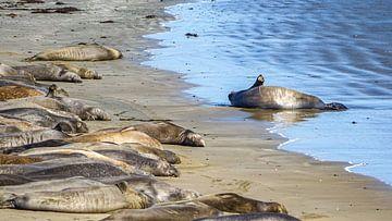 Elefanten an der Küste von Kalifornien, Vereinigte Staaten von Jessica Lokker