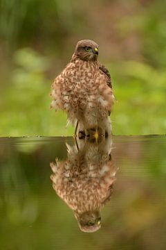 sperwer spiegelbeeld van Bastiaan Willemsen