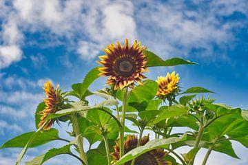 Kleurrijke zonnebloemen met een blauwe  lucht en witte wolken lucht van J..M de Jong-Jansen