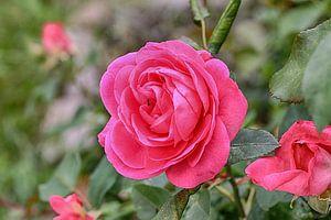 Roos in het avondlicht