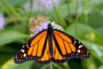 monarchvlinder op een bloem von W J Kok