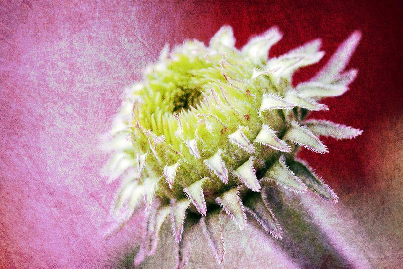 Echinaceaknospe van Rosi Lorz