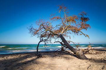Tree on shore of the Baltic Sea sur Rico Ködder